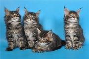 Питомник мейн кунов предлагает котят в Астане