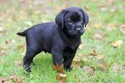 я даю маленькие щенков очень любезный и восхитительный черный и каштан